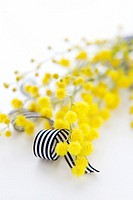 Yellow Mimosa and black and white ribbon