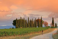 Montefalco area wine scape, Umbria wine region, Italy, Europe