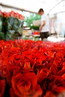 France, Var, La Crau, Les Roses du Sud The Roses of the South, complusory mention, rose production, grading, Rose variety of Testarossa