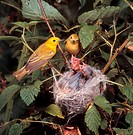 Male and female yellow warblers Dendroica petechia at nest with hungry chicks in Ohio.