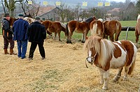 France, Haute Saone, Grammont, since 1502 the fair is on the last Saturday in February, from the Franche Comte horses and stroll in pony