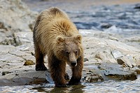 Grizzly bear, Ursus arctos horribilis, in a stream looking to feed on spawning salmon in August, Katmai National Park and Preserve, Alaska.