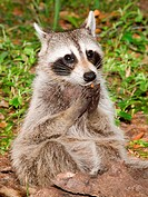 Adult Raccoon Procyon lotor also known as the masked bandit. The name ´lotor´ means ´washer. Northeastern Florida, Duval County, Florida.