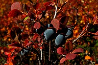 Blue berries abound on the tundra of Denali National Park adding beautiful fall color to the landscape. Alaska.