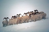 Dall Sheep rams, Ovis dalli, Denali National Park, Alaska.