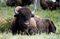 Plains Bison, Bison bison bison, Elk Island National Park, Alberta, Canada.
