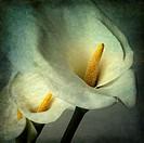 Arum flowers, vintage look
