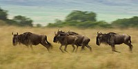Wildebeest running taurinus on the Masai Mara National Reserve, Kenya.