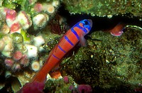 Blue_banded Goby, California.