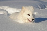 Arctic fox Alopex lagopus in deep winter snow, Minnesota.