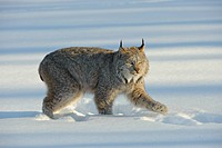 Canadian Lynx Lynx canadensis walking through in thick winter snow in Minnesota.