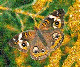 Mosaic of a Buckeye Butterfly Junonia coenia. The image is compiled of various nature photo tiles and was created using AndreaMosaic creditware. Large...