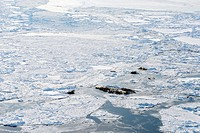 Pacific walruses Odobenus rosmarus divergens along open water in sea ice, Bering Sea, April. These highly gregarious animals form groups and groups fo...