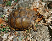 An adult male Eastern Box Turtle Terrapene carolina from Crawford County, Kansas.