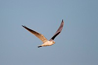 White_tailed Kite, Elanus leucurus. Formerly known as Black_shouldered Kite in flight. A medium_sized raptor of open grasslands and savannas. October ...