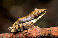 Morningside tree frog Polypedates fastigo in montane forest, Morningside, Sinharaja National Park and World Heritage Site, Sri Lanka. Endemic and IUCN...