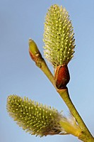 Goat Willow Male Catkins, Salix caprea, Schleswig-Holstein, Germany