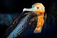 Immature Frigate Bird, Galapagos Islands