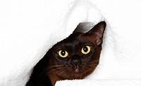 Burmese cat peeking out from under blanket