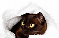 Burmese cat peeking out from under blanket