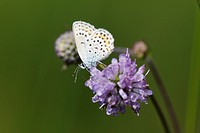 Common Blue (Polyommatus icarus) on flower of Moench, Devil's-bit or Devil's-bit Scabious (Succisa pratensis), Sachsenkam, Bavaria, Germany, Europe