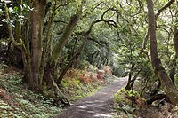 Path in a laurel forest, Garajonay National Park, La Gomera, Canary Islands, Spain, Europe