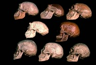 Skulls of human evolution. On the top row are left to right: Homo heidelbergensis Heidelberg Man, Homo erectus Java Man, Homo neanderthalensis Neander...