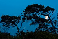 Wind-blown trees with the moon, West Beach, Darss, Western Pomerania Lagoon Area National Park, Mecklenburg-Western Pomerania, Germany, Europe