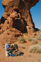 Conservationists relocating a bighorn sheep, Valley of Fire State Park, Nevada.