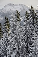 Snowy spruce forest, Norway spruces Picea abies in mountains, near Hundham, Leitzachtal valley, Bavaria, Germany, Europe