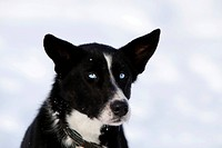 Portrait of a sled dog, female Alaskan Husky, blue eyes, Yukon Territory, Canada