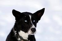 Portrait of a sled dog, female Alaskan Husky, blue eyes, Yukon Territory, Canada