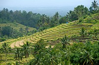 Agriculture, rice paddies, rice terraces and coconut palms, Jatiluwih in Ubud, Bali, Indonesia, Southeast Asia, Asia