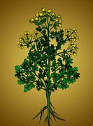 The Common Rue Ruta graveolens, also known as Herb_of_Grace, is a species of rue grown as a herb. It is native to the Balkan Peninsula, southeastern E...
