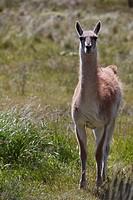 A wild guanaco (Lama guanicoe) standing on a meadow, Cochrane, Region de Aysen, Patagonia, Chile, South America, America