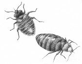 Bedbug Cimex lectularius, illustration. Bed bugs are not vectors in nature of any known human disease. The common bed bug is found worldwide. Infestat...