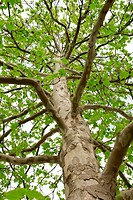 The trunk of a tree with large branches and green leaves