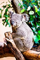 Koala resting in the nook of a tree with eucalyptus leaves nearby.