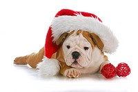 christmas puppy _ adorable english bulldog puppy wearing santa hat on white background
