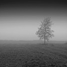 Single tree in the meadow in the mist