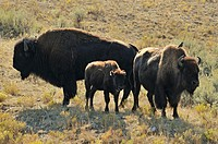 American Bison Bison bison Cow and calf, Yellowstone NP, Wyoming, USA