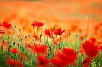 Field of Corn Poppy Flowers Papaver rhoeas in Spring