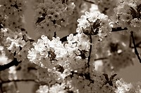 Cherry tree branch in bloom. Sepia.