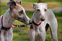 portrait of two greyhounds