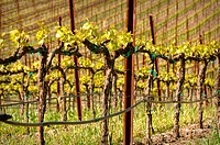 Wine Vineyard in the Spring