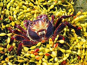 Red Rock Crab, Plagusia chabrus in a tide pool in Australia