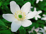 wood anemone _ anemone nemerosa in detail with flower and leaves