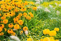 Summer flower bed with Marigold, Pennisetum grass and Tagetes