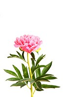 One double flower, stem and leaves of a a pink peony Paeonia lactiflora against a white background with room for texts