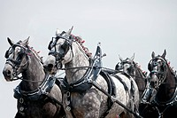 Closeup of hitched team of strong draft horses running.